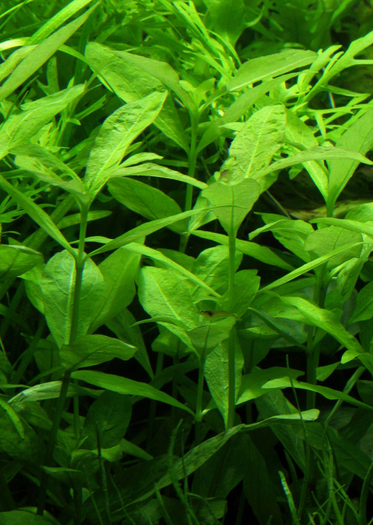 Hygrophila polysperma plant from Tropica products online in Dubai and Abu Dhabi UAE