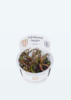 1-2-Grow! Hygrophila pinnatifida plant from Tropica products online in Dubai and Abu Dhabi UAE