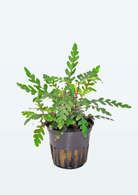 Hygrophila pinnatifida plant from Tropica products online in Dubai and Abu Dhabi UAE