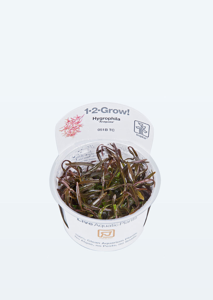 1-2-Grow! Hygrophila 'Araguaia' plant from Tropica products online in Dubai and Abu Dhabi UAE