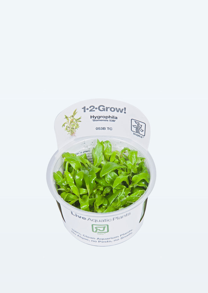 1-2-Grow! Hygrophila 'Siamensis 53B' plant from Tropica products online in Dubai and Abu Dhabi UAE