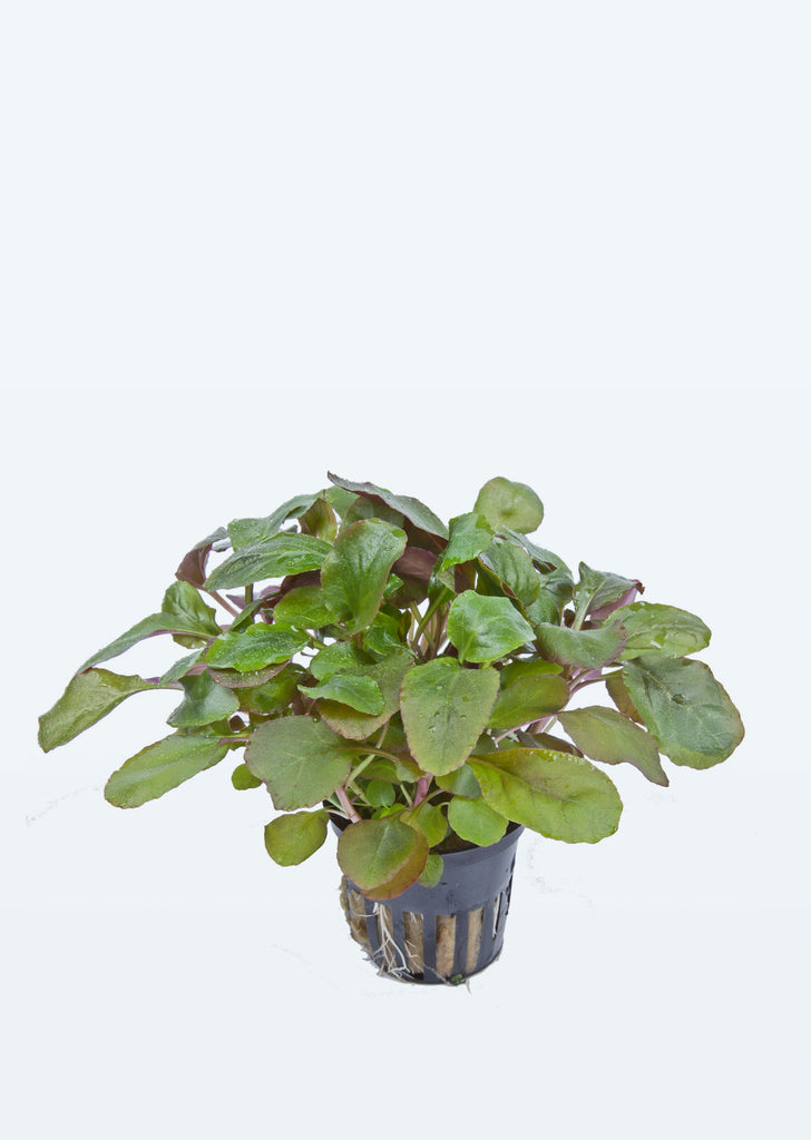 Lobelia cardinalis plant from Tropica products online in Dubai and Abu Dhabi UAE
