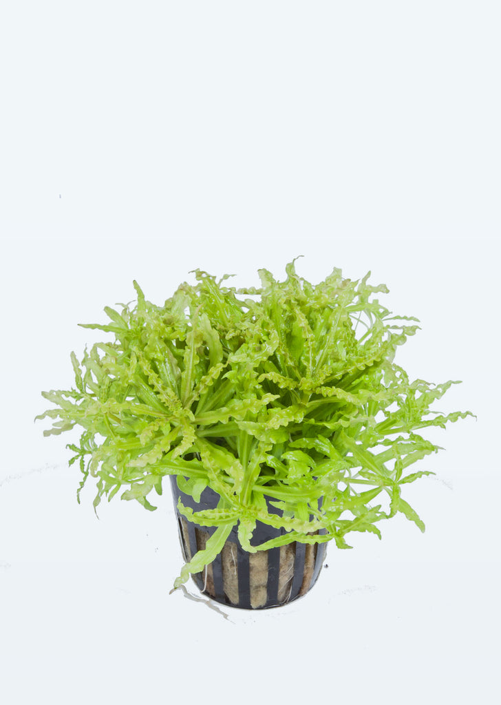 Pogostemon helferi plant from Tropica products online in Dubai and Abu Dhabi UAE