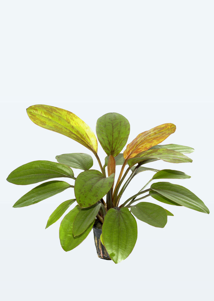 Echinodorus 'Rosé' plant from Tropica products online in Dubai and Abu Dhabi UAE