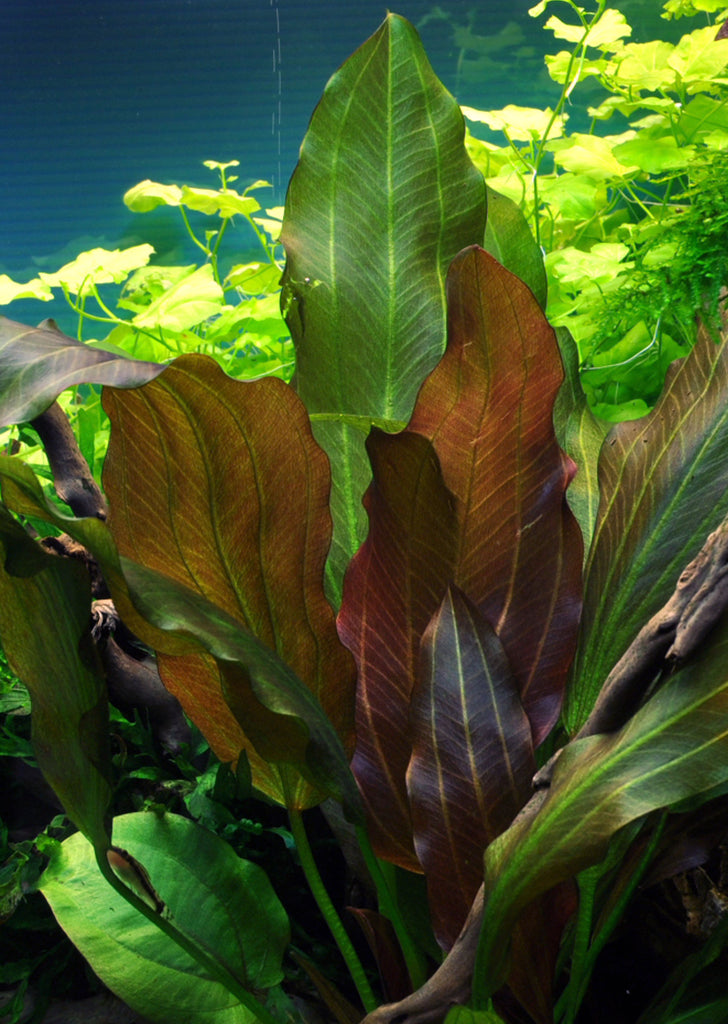 Echinodorus 'Reni' plant from Tropica products online in Dubai and Abu Dhabi UAE