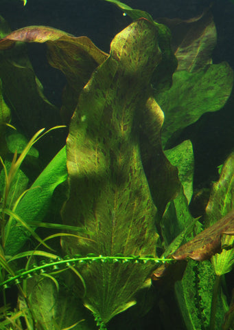 Echinodorus 'Ozelot' plant from Tropica products online in Dubai and Abu Dhabi UAE