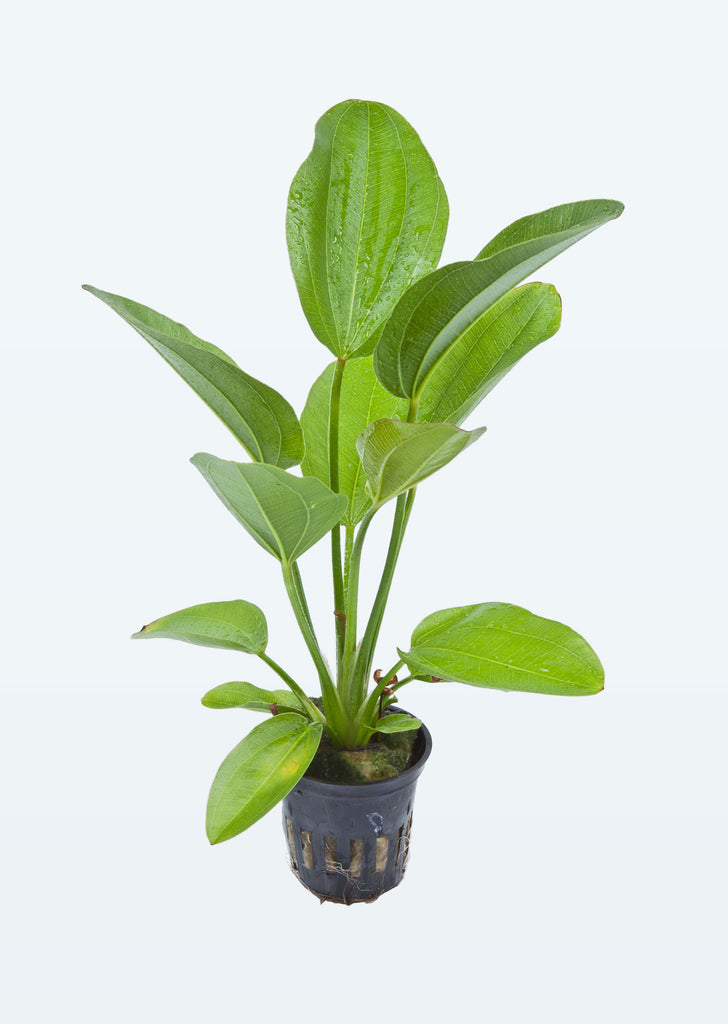 Echinodorus 'Aquartica' plant from Tropica products online in Dubai and Abu Dhabi UAE