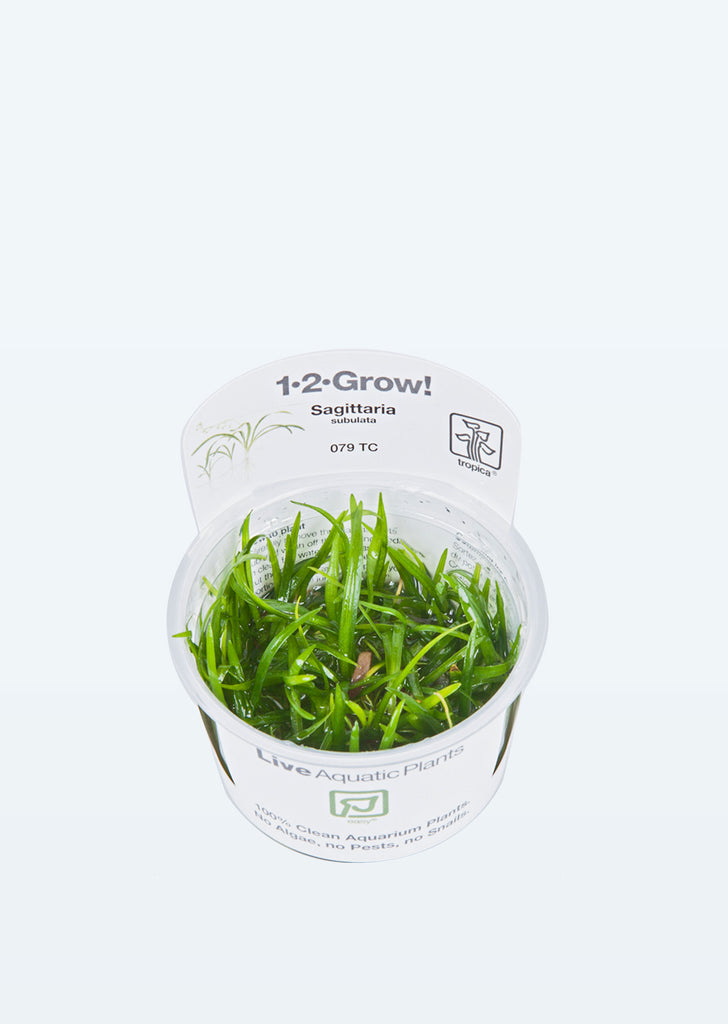 1-2-Grow! Sagittaria subulata plant from Tropica products online in Dubai and Abu Dhabi UAE
