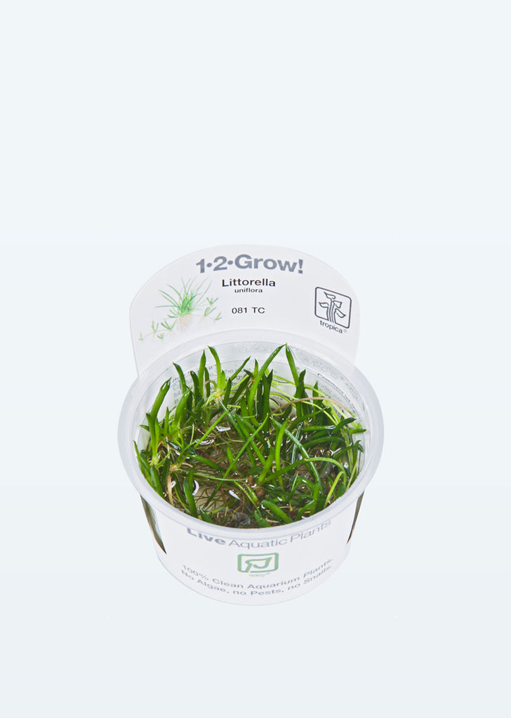 1-2-Grow! Littorella uniflora plant from Tropica products online in Dubai and Abu Dhabi UAE