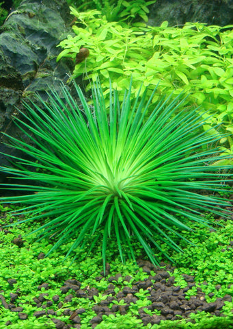 1-2-Grow! Eriocaulon cinereum plant from Tropica products online in Dubai and Abu Dhabi UAE