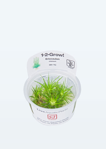 1-2-Grow! Eriocaulon cinereum