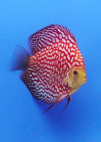 Best Online live fish store Discus