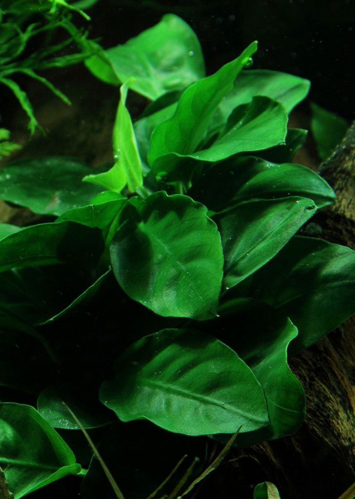 Anubias barteri var. nana plant from Tropica products online in Dubai and Abu Dhabi UAE
