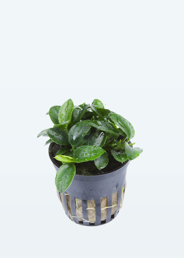 Anubias 'Petite' plant from Tropica products online in Dubai and Abu Dhabi UAE
