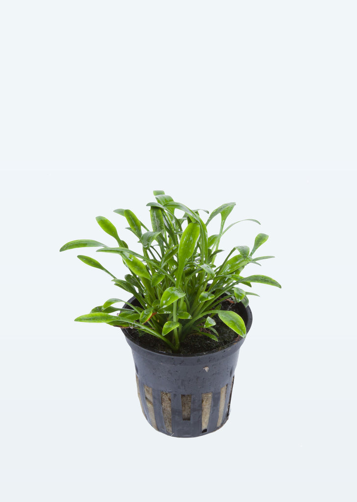 Cryptocoryne parva plant from Tropica products online in Dubai and Abu Dhabi UAE