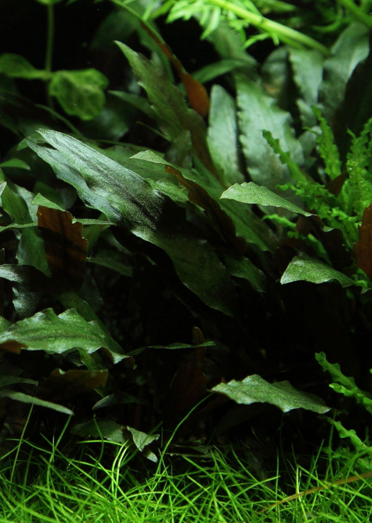 Cryptocoryne beckettii 'Petchii' plant from Tropica products online in Dubai and Abu Dhabi UAE