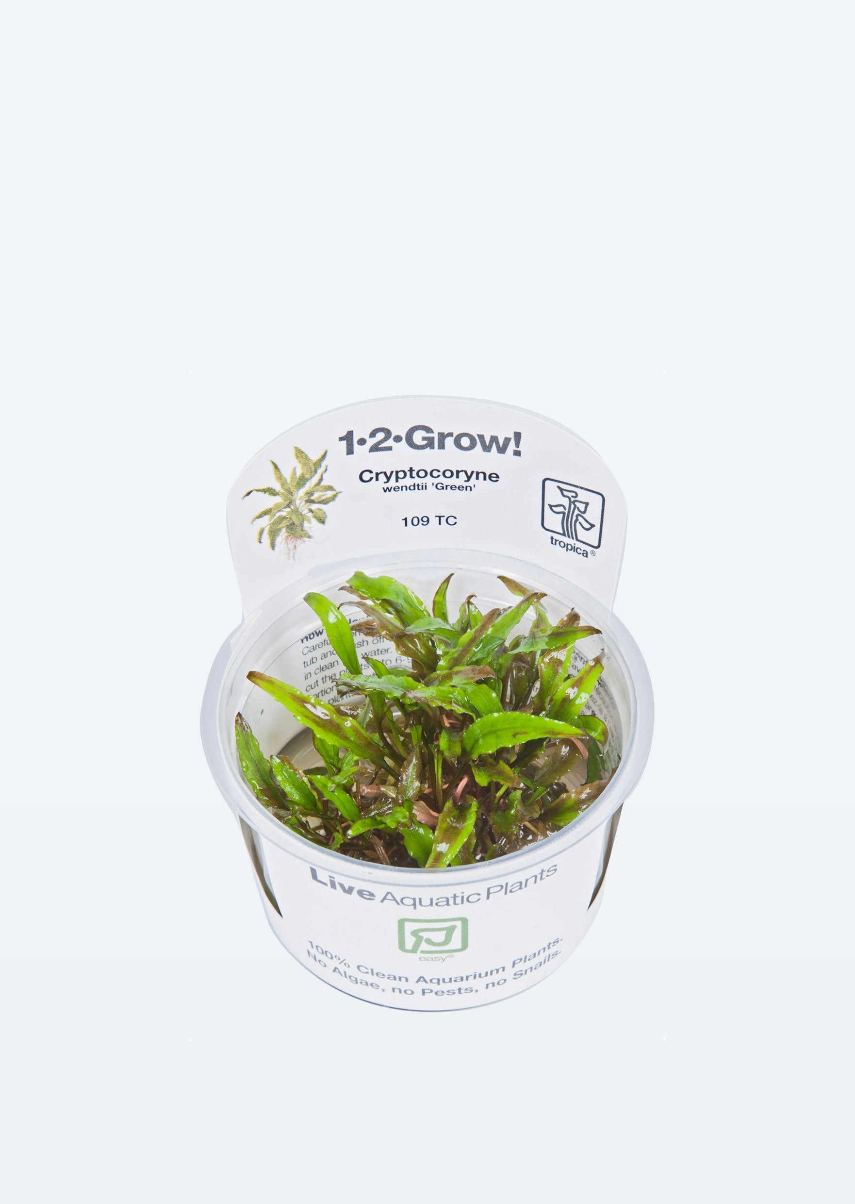 1-2-Grow! Cryptocoryne wendtii 'Green'