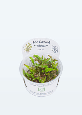 1-2-Grow! Cryptocoryne wendtii 'Green' plant from Tropica products online in Dubai and Abu Dhabi UAE