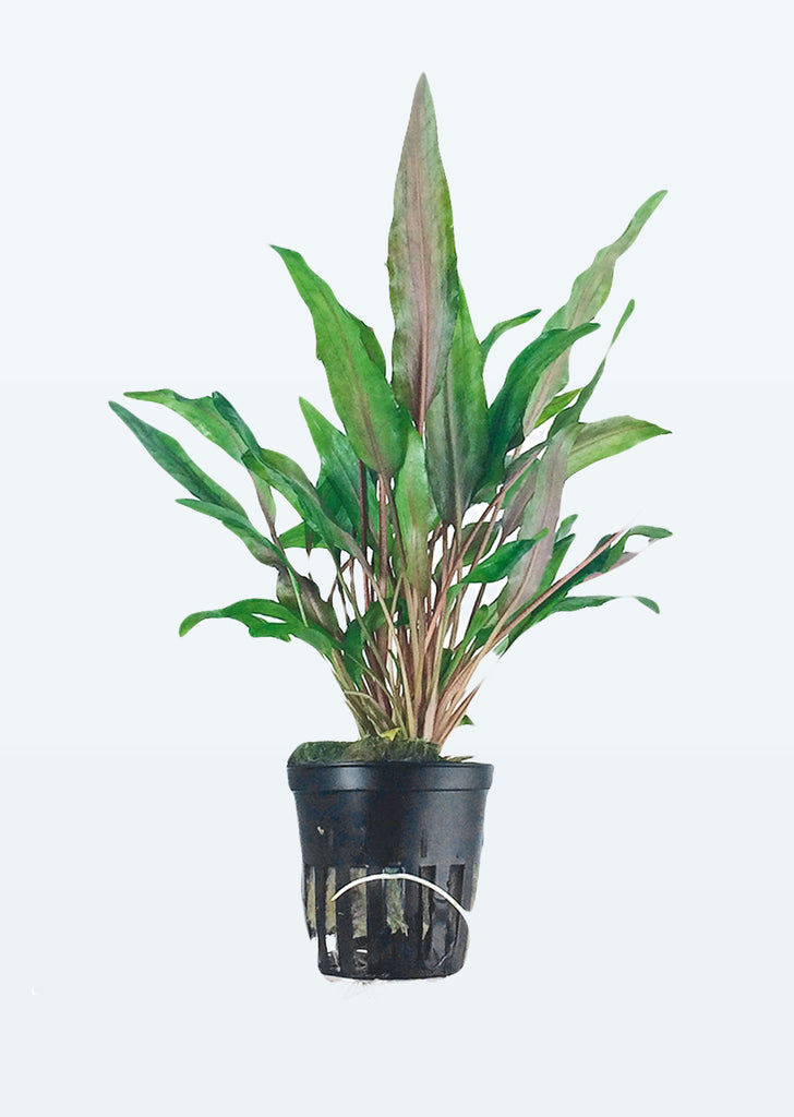 Cryptocoryne undulata 'Broad Leaves' plant from Tropica products online in Dubai and Abu Dhabi UAE