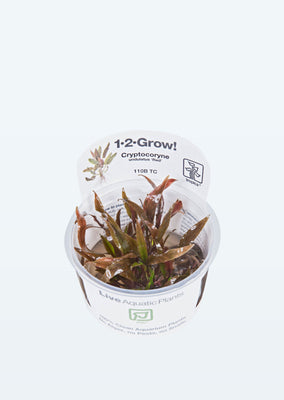 1-2-Grow! Cryptocoryne undulatus red plant from Tropica products online in Dubai and Abu Dhabi UAE