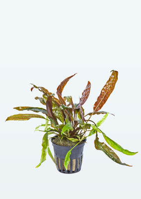 Cryptocoryne usteriana plant from Tropica products online in Dubai and Abu Dhabi UAE