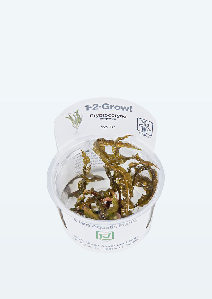 1-2-Grow! Cryptocoryne crispatula plant from Tropica products online in Dubai and Abu Dhabi UAE