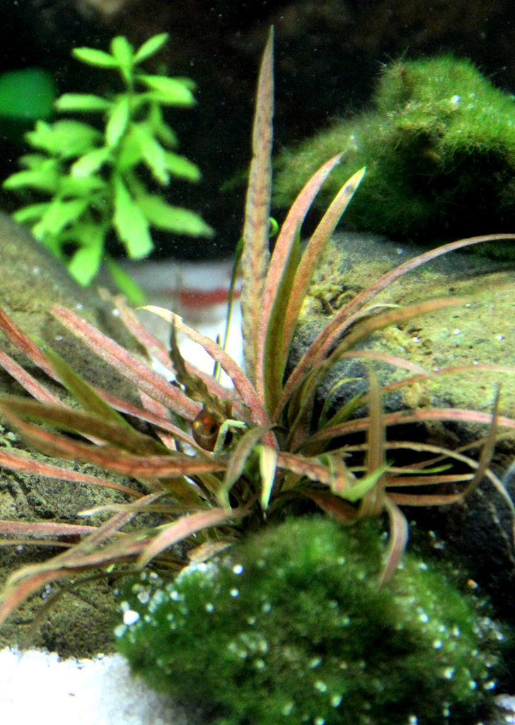 Cryptocoryne albida 'Brown' plant from Tropica products online in Dubai and Abu Dhabi UAE