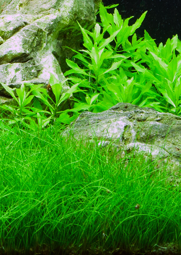 Eleocharis parvula plant from Tropica products online in Dubai and Abu Dhabi UAE