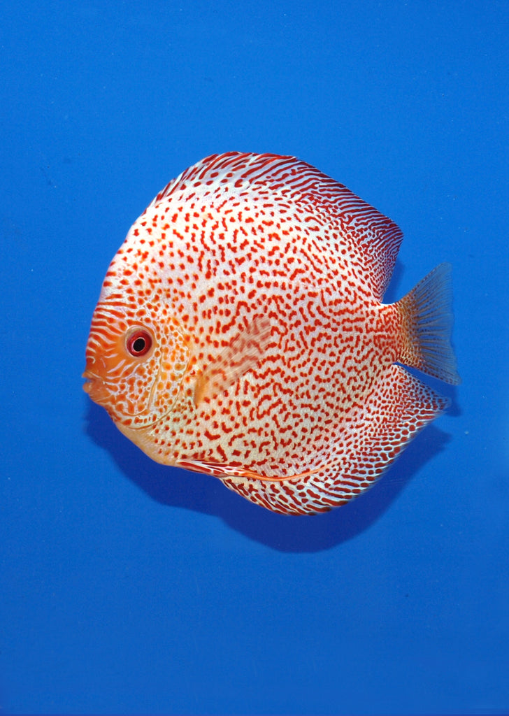 Stendker - Leopard - White Leopard fish from Diskuszucht Stendker products online in Dubai and Abu Dhabi UAE