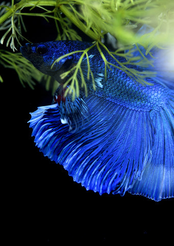 BETTA Blue Butterfly Halfmoon