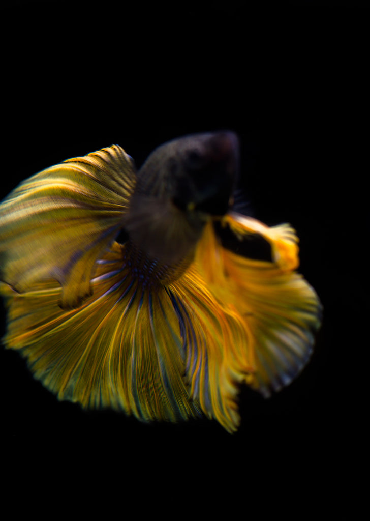 BETTA Mustard Halfmoon tropical fish from Discus.ae products online in Dubai and Abu Dhabi UAE