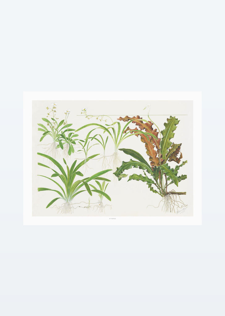 Tropica Art: Sagittaria 40x30 cm art from Tropica products online in Dubai and Abu Dhabi UAE