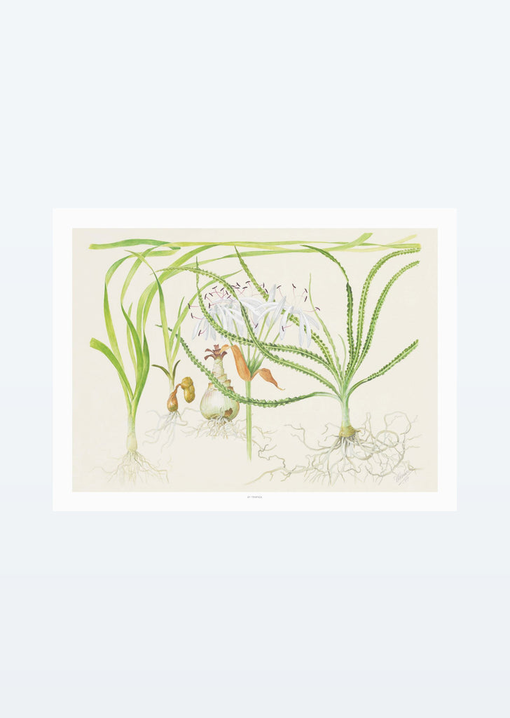 Tropica Art: Crinum 40x30 cm art from Tropica products online in Dubai and Abu Dhabi UAE