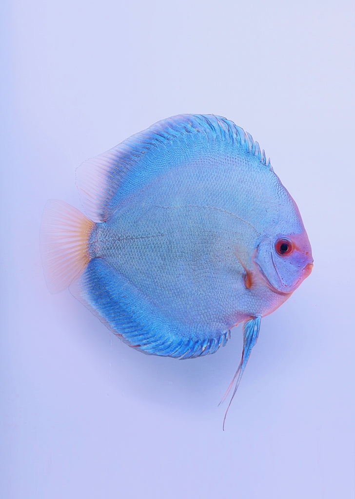 Stendker - Blue Diamond fish from Diskuszucht Stendker products online in Dubai and Abu Dhabi UAE