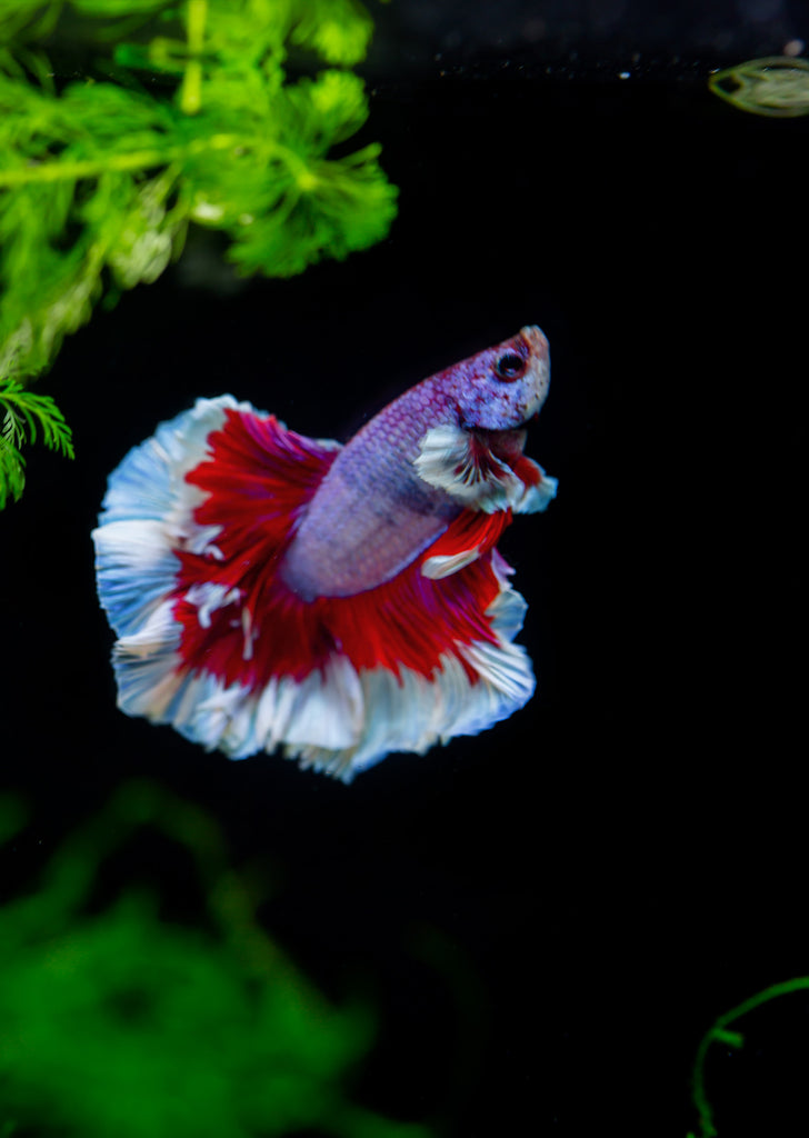 BETTA Magenta Butterfly Dumbo-Ear Halfmoon tropical fish from Discus.ae products online in Dubai and Abu Dhabi UAE
