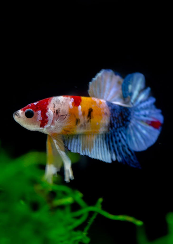 BETTA Koi Candy Galaxy Plakat tropical fish from Discus.ae products online in Dubai and Abu Dhabi UAE