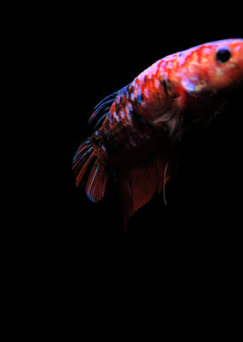 BETTA Koi 'Giant'