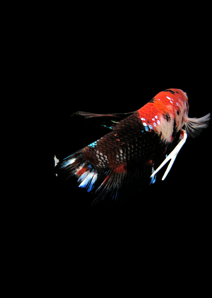 BETTA Koi 'Giant' tropical fish from Discus.ae products online in Dubai and Abu Dhabi UAE
