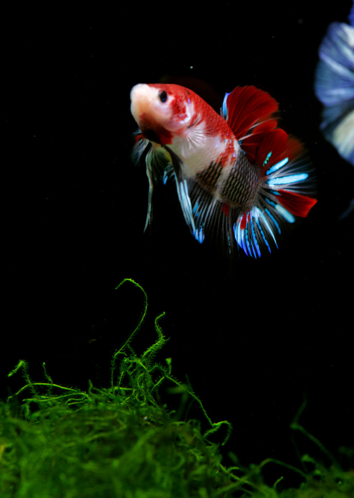 BETTA Giant Halfmoon tropical fish from Discus.ae products online in Dubai and Abu Dhabi UAE