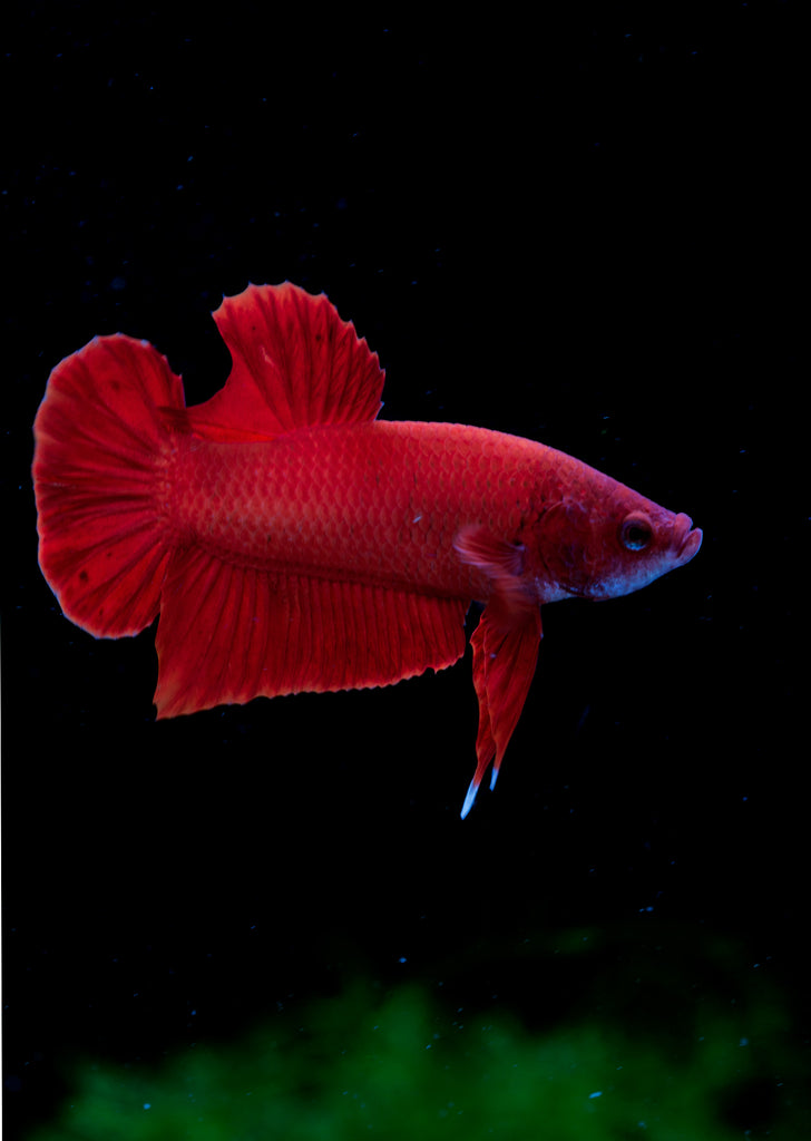 BETTA Plakat tropical fish from Discus.ae products online in Dubai and Abu Dhabi UAE