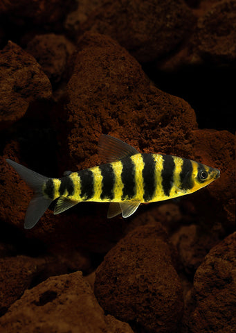 Black Banded Leporinus tropical fish from Discus.ae products online in Dubai and Abu Dhabi UAE