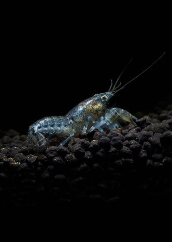 Blue Mini Mexican Crayfish