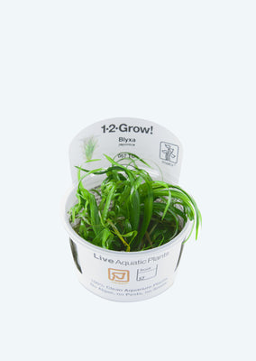 1-2-Grow! Blyxa japonica plant from Tropica products online in Dubai and Abu Dhabi UAE