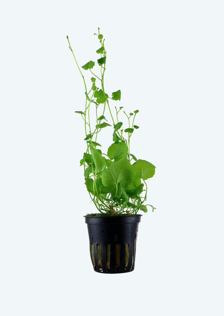 Cardamine lyrata plant from Tropica products online in Dubai and Abu Dhabi UAE