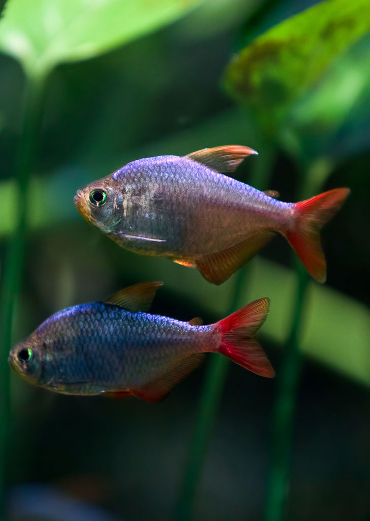 Colombian Tetra tropical fish from Discus.ae products online in Dubai and Abu Dhabi UAE