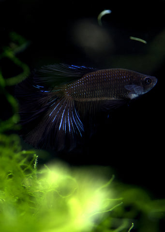 BETTA Black Halfmoon