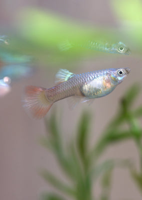 Red Lace Guppy
