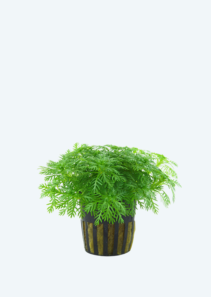 Hottonia palustris plant from Tropica products online in Dubai and Abu Dhabi UAE