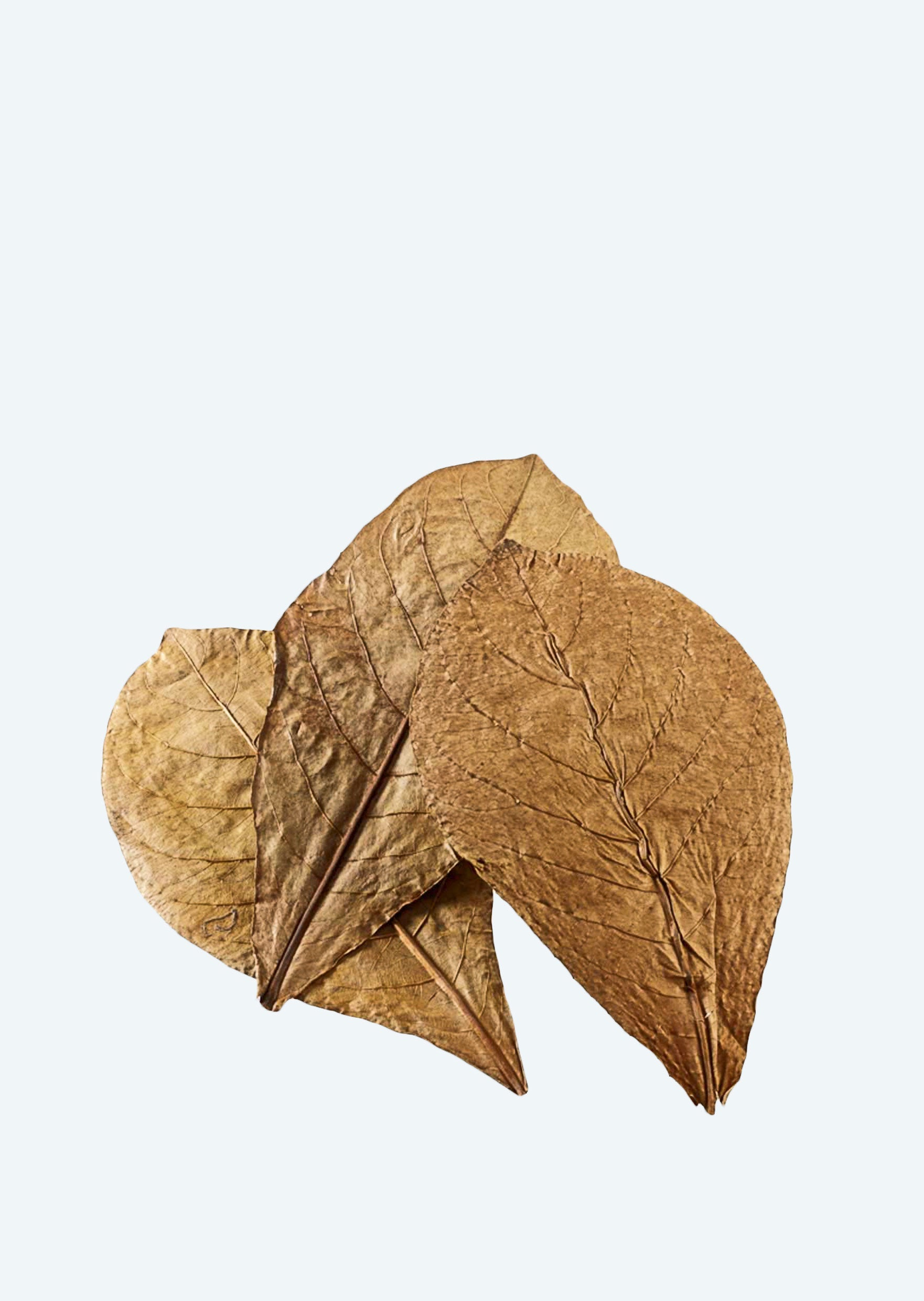 HOBBY Catappa Leaves