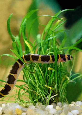 Kuhlii Loach tropical fish from Discus.ae products online in Dubai and Abu Dhabi UAE